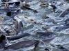 102 poissons chat au mètre carré