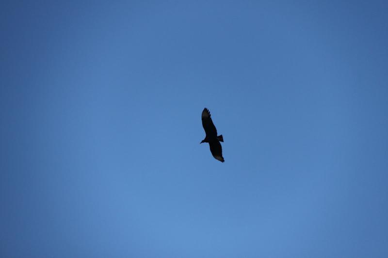 Un faux condor