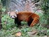 Mignon panda roux