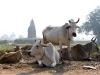 Le gang des vaches sacrees