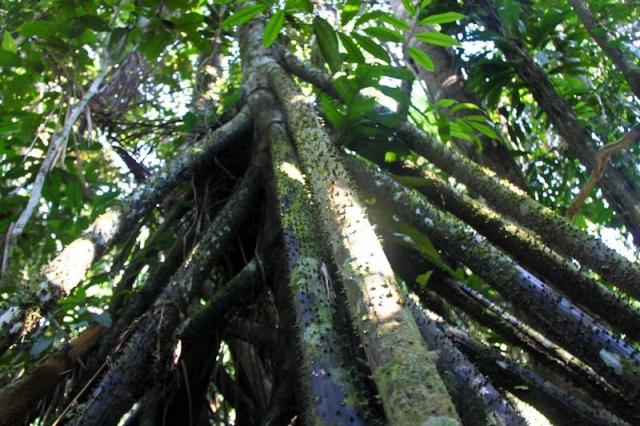 Cachapona ou le palmier qui marche