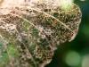 Mangée par les larves Setico